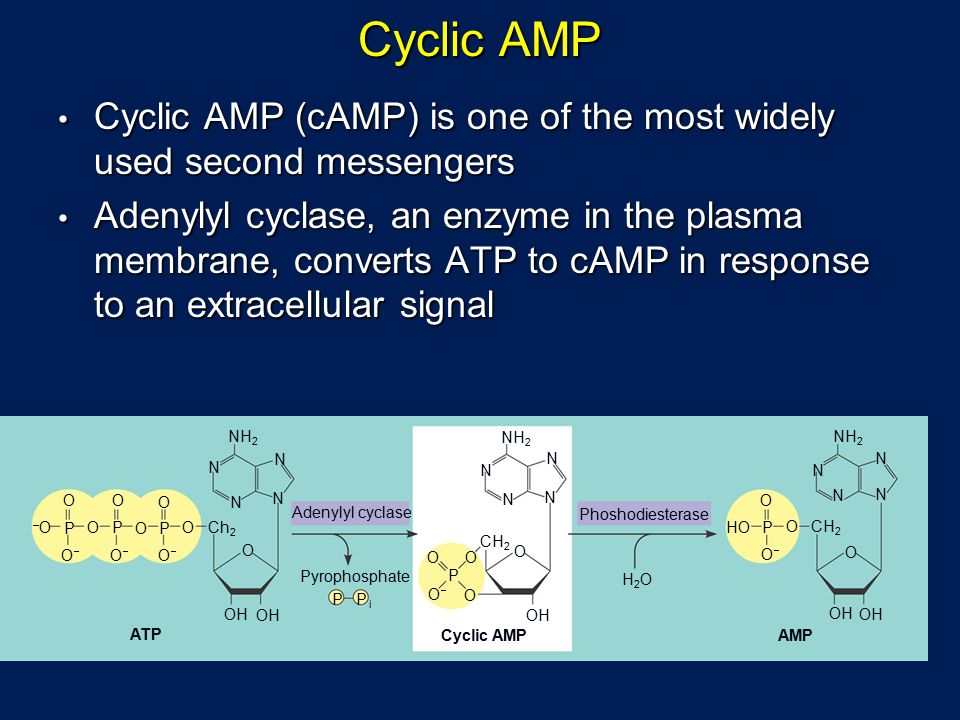 Cyclic AMP O –O–OO O N O O O OO P P P P PP O OO O O O OH CH 2 NH 2 N N N N N N N N N N N O O OO ATP Ch 2 CH 2 O OH P OO OO H2OH2O HO Adenylyl cyclase Phoshodiesterase Pyrophosphate Cyclic AMPAMP OH O i Cyclic AMP (cAMP) is one of the most widely used second messengers Cyclic AMP (cAMP) is one of the most widely used second messengers Adenylyl cyclase, an enzyme in the plasma membrane, converts ATP to cAMP in response to an extracellular signal Adenylyl cyclase, an enzyme in the plasma membrane, converts ATP to cAMP in response to an extracellular signal