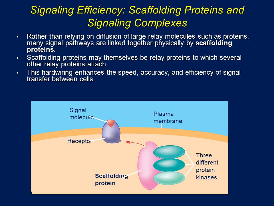 Signaling Efficiency: Scaffolding Proteins and Signaling Complexes Rather than relying on diffusion of large relay molecules such as proteins, many signal pathways are linked together physically by scaffolding proteins.