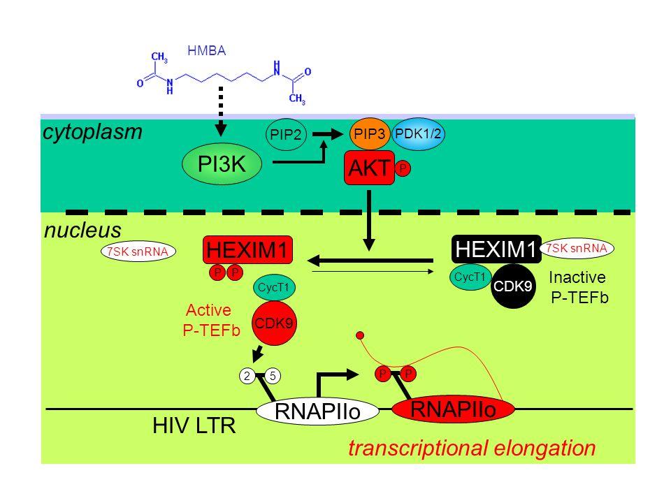 HMBA PI3K PIP2 PDK1/2 P cytoplasm nucleus HIV LTR CycT1 7SK snRNA P Inactive P-TEFb Active P-TEFb PIP3 AKT HEXIM1 P CDK9 transcriptional elongation 7S