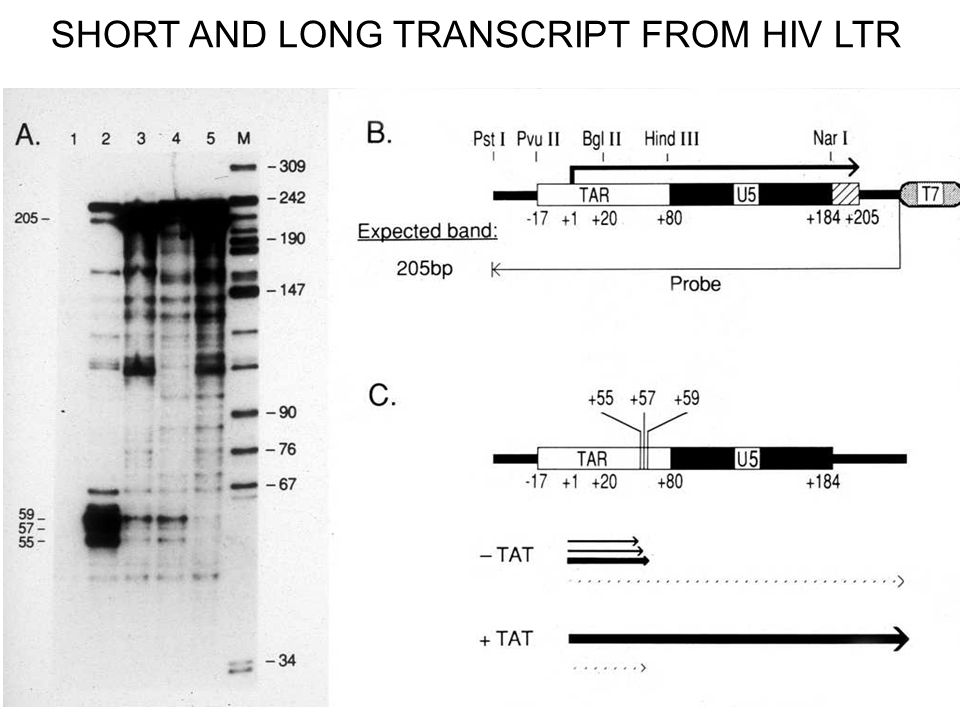 SHORT AND LONG TRANSCRIPT FROM HIV LTR
