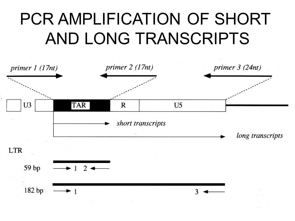 PCR AMPLIFICATION OF SHORT AND LONG TRANSCRIPTS