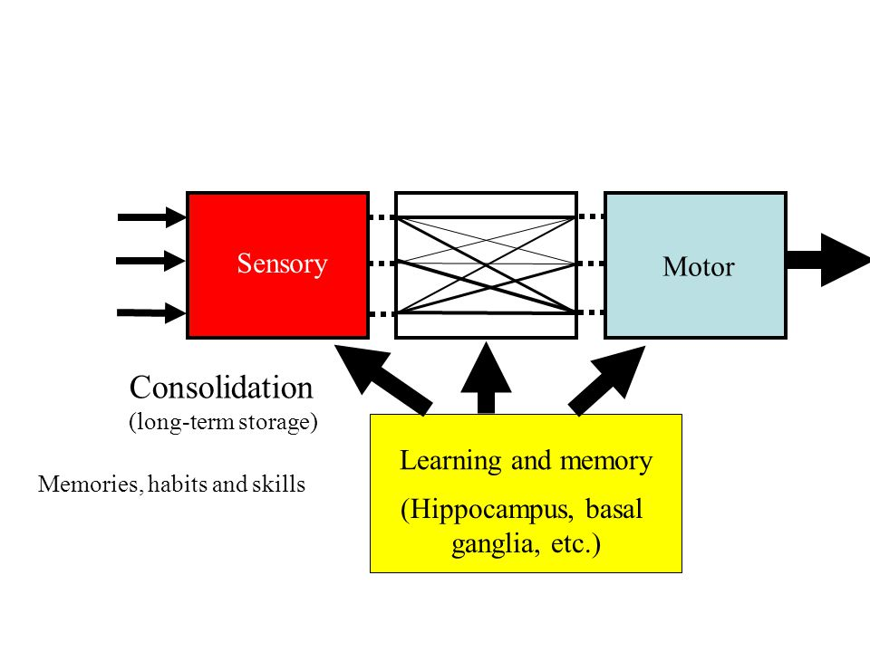 Sensory Motor Executive Functions goal-related information Learning and memory (Hippocampus, basal ganglia, etc.) Consolidation (long-term storage)