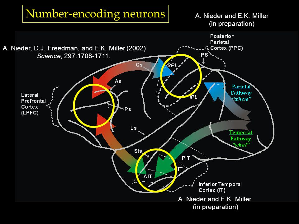 Number-encoding neurons A. Nieder, D.J. Freedman, and E.K.