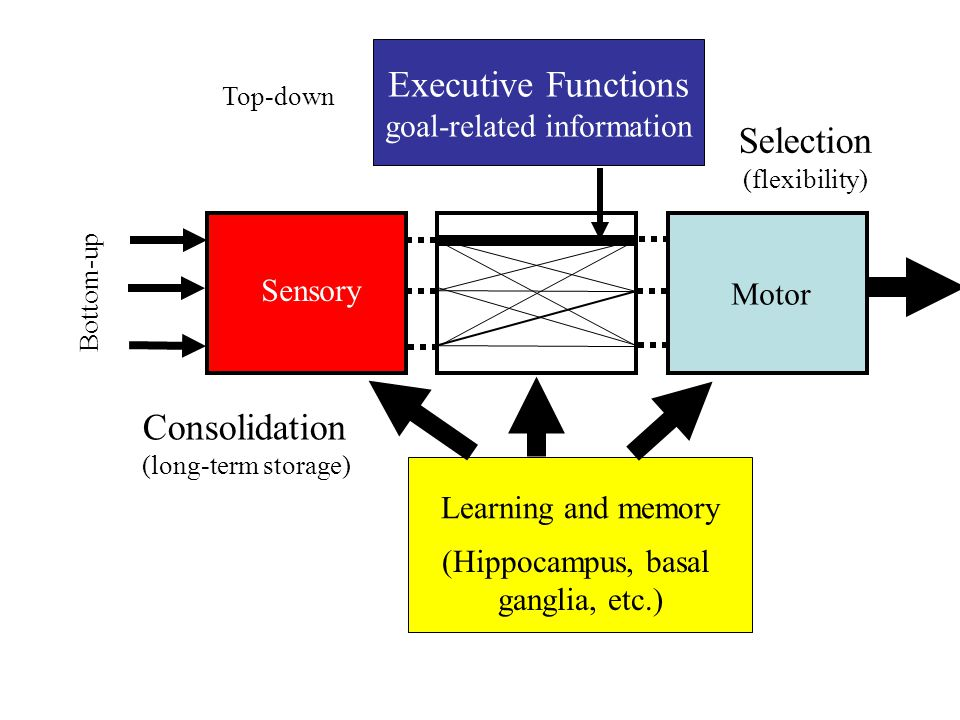 Scaling of numerical representations Linear-coding hypothesisNon-linear compression hypothesis symmetric distributions on linear scale (centered on numbers) wider distributions in proportion to increasing quantities symmetric distributions on a logarithmically compressed scale standard deviations of distributions constant across quantities asymmetric on log scaleasymmetric on linear scale
