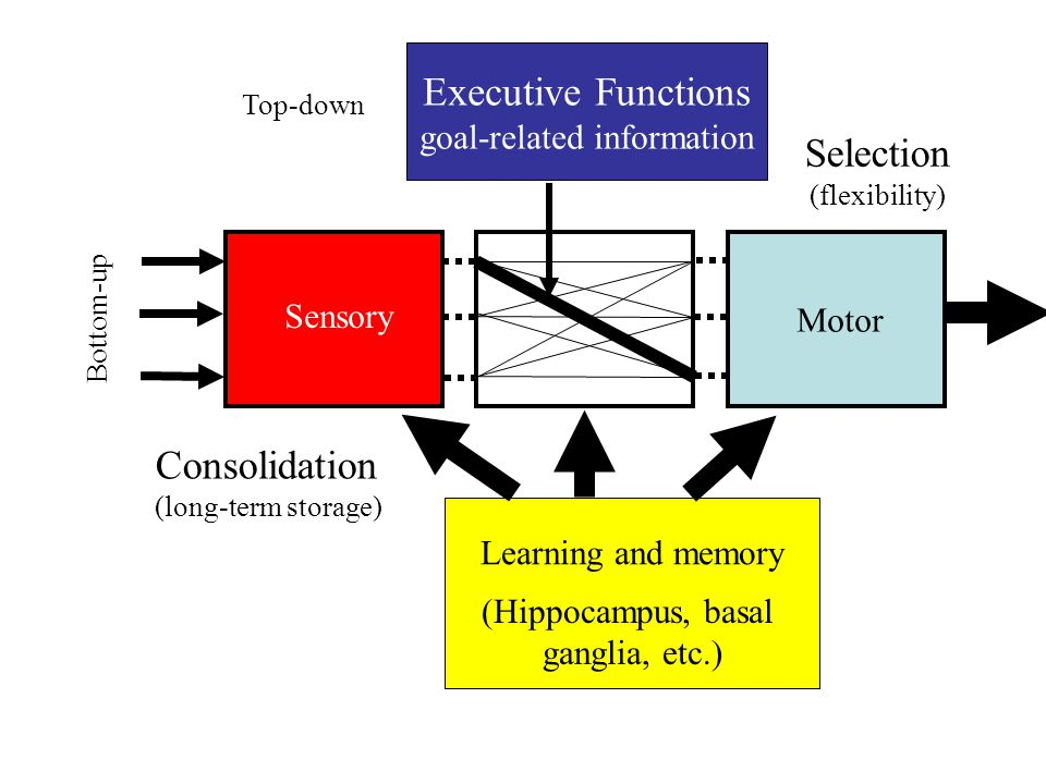 Sensory Motor Bottom-up Learning and memory (Hippocampus, basal ganglia, etc.) Executive Functions goal-related information Top-down Selection (flexibility) Consolidation (long-term storage)