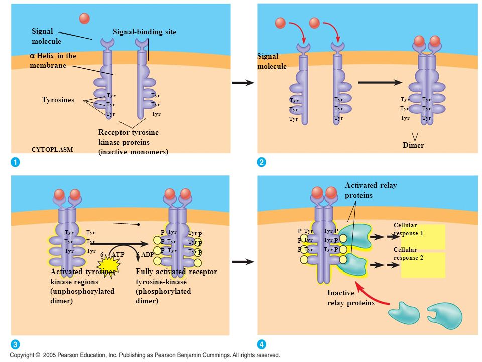 Signal molecule  Helix in the membrane Signal-binding site Tyr Tyrosines Receptor tyrosine kinase proteins (inactive monomers) CYTOPLASM Tyr Activate