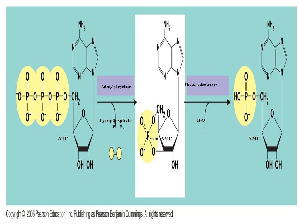ATPCyclic AMPAMP Adenylyl cyclase Pyrophosphate PP i Phosphodiesterase H2OH2O