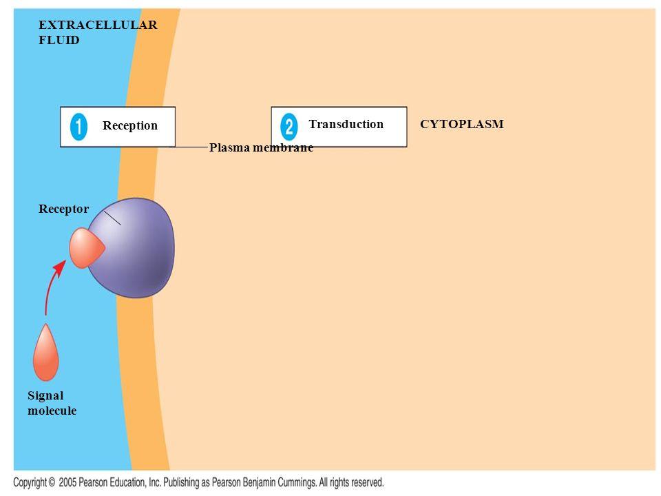EXTRACELLULAR FLUID Reception Plasma membrane TransductionCYTOPLASM Receptor Signal molecule