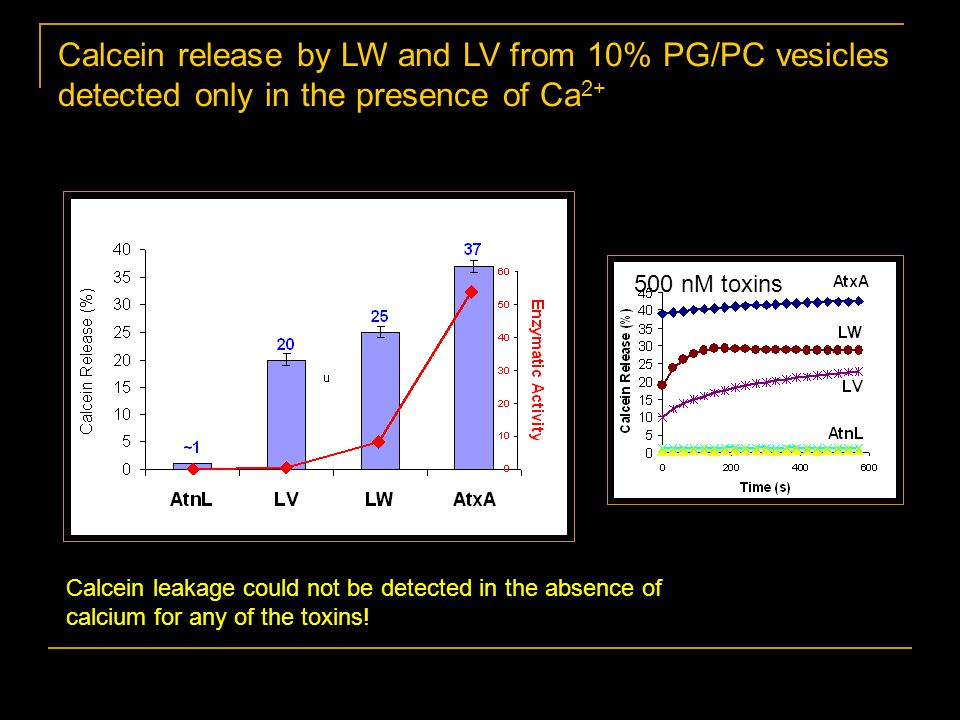 Calcein release by LW and LV from 10% PG/PC vesicles detected only in the presence of Ca 2+ Calcein leakage could not be detected in the absence of calcium for any of the toxins.