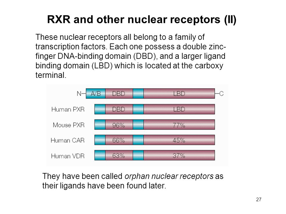 27 RXR and other nuclear receptors (II) These nuclear receptors all belong to a family of transcription factors.