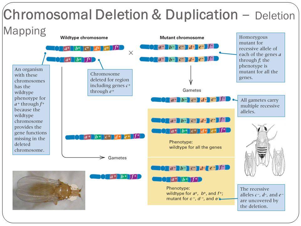 Chromosomal Deletion & Duplication – Deletion Mapping
