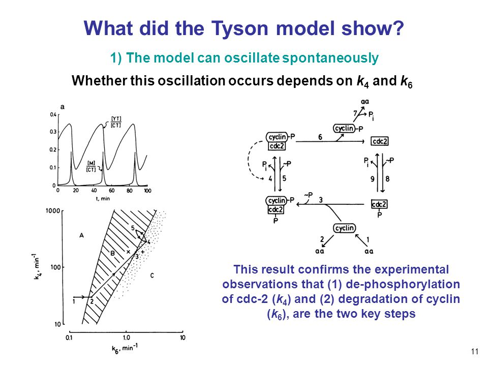 What did the Tyson model show? 1) The model can oscillate spontaneously Whether this oscillation occurs depends on k 4 and k 6 This result confirms th