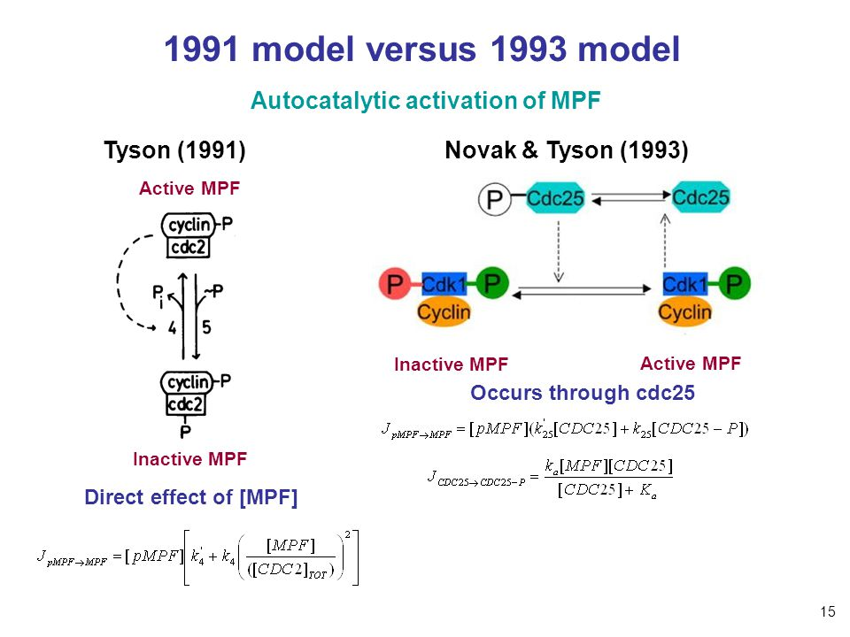 1991 model versus 1993 model Tyson (1991) Autocatalytic activation of MPF Active MPF Inactive MPF Direct effect of [MPF] Occurs through cdc25 Active M
