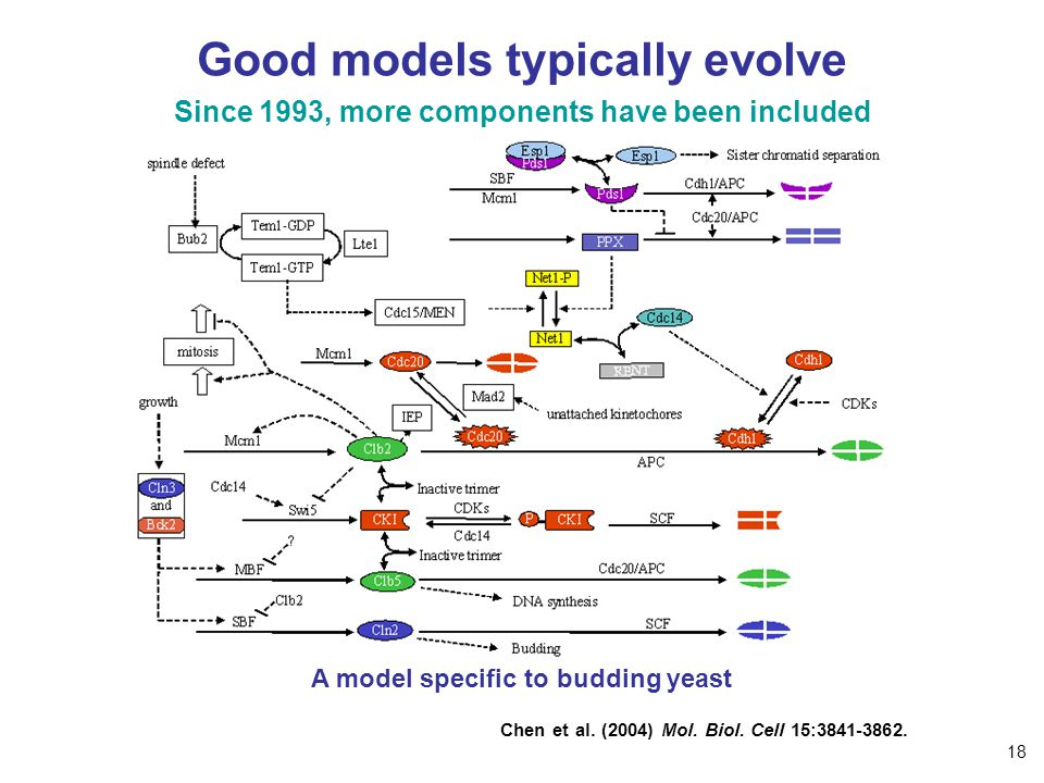 Good models typically evolve Since 1993, more components have been included A model specific to budding yeast Chen et al. (2004) Mol. Biol. Cell 15:38