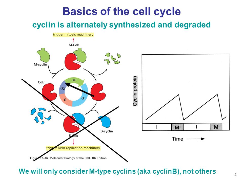 Basics of the cell cycle cyclin is alternately synthesized and degraded We will only consider M-type cyclins (aka cyclinB), not others 4