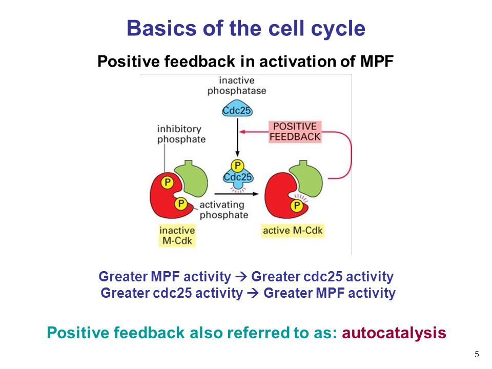 Basics of the cell cycle Positive feedback in activation of MPF Greater MPF activity  Greater cdc25 activity Greater cdc25 activity  Greater MPF act