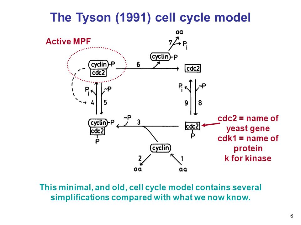 The Tyson (1991) cell cycle model Active MPF This minimal, and old, cell cycle model contains several simplifications compared with what we now know.
