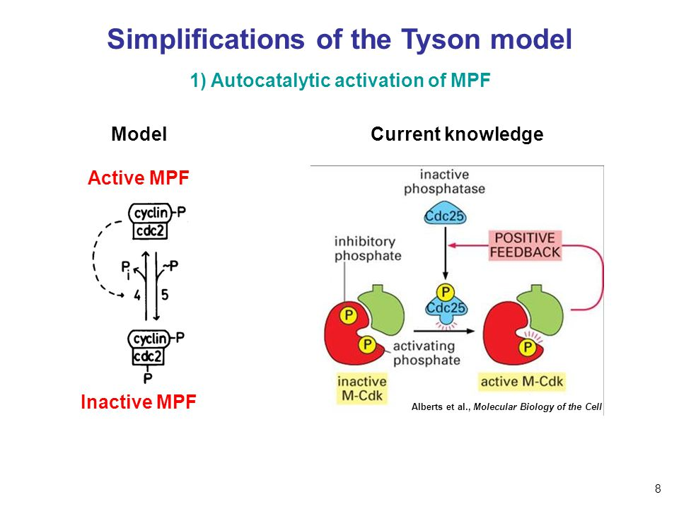 Simplifications of the Tyson model Model 1) Autocatalytic activation of MPF Active MPF Inactive MPF Current knowledge Alberts et al., Molecular Biolog