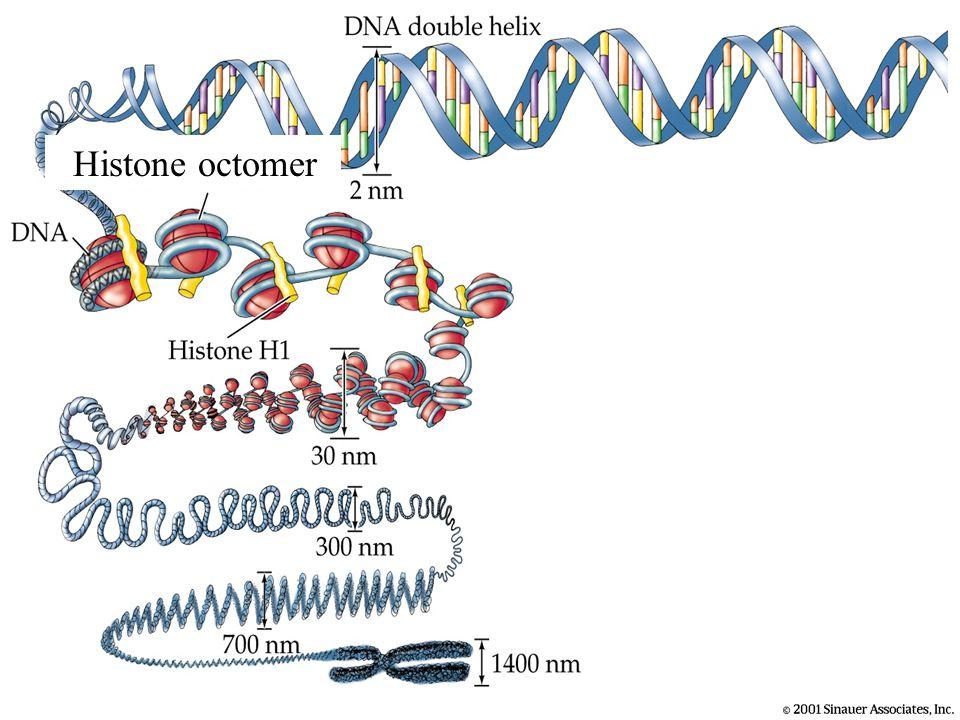 Histone octomer