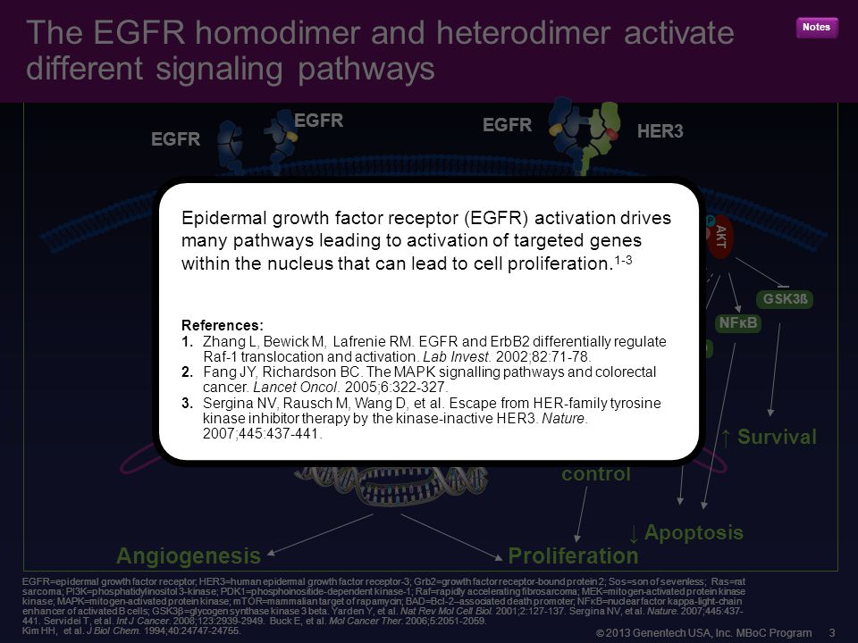  2013 Genentech USA, Inc. MBoC Program 3 The EGFR homodimer and heterodimer activate different signaling pathways EGFR=epidermal growth factor recept