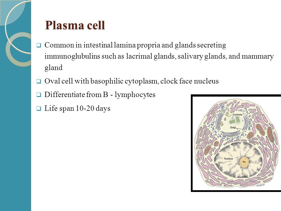 Plasma cell  Common in intestinal lamina propria and glands secreting immunoglubulins such as lacrimal glands, salivary glands, and mammary gland  O