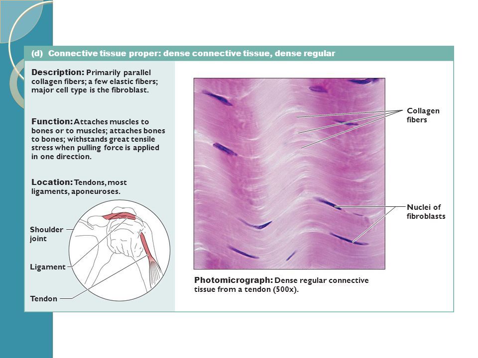 (d) Connective tissue proper: dense connective tissue, dense regular Description: Primarily parallel collagen fibers; a few elastic fibers; major cell