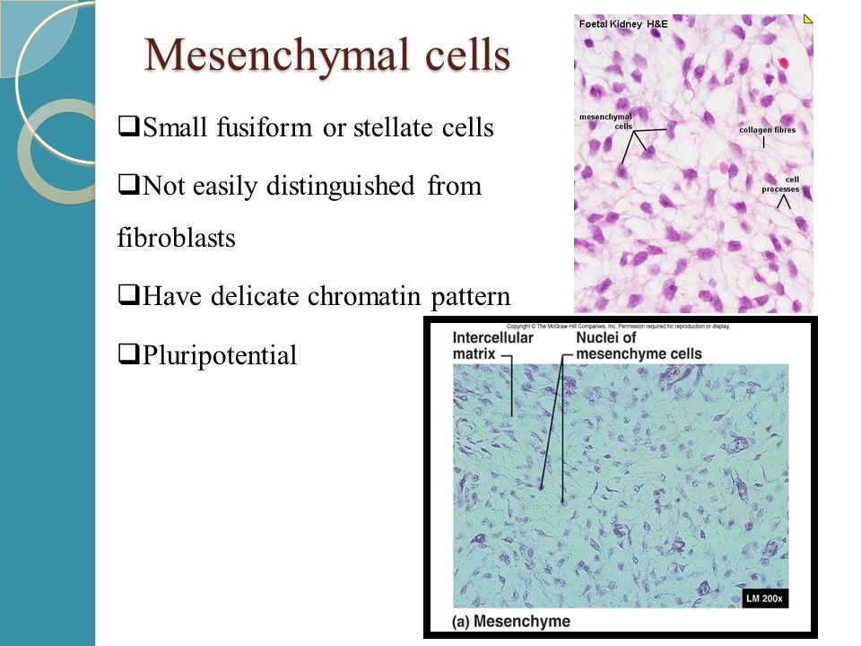 Mesenchymal cells  Small fusiform or stellate cells  Not easily distinguished from fibroblasts  Have delicate chromatin pattern  Pluripotential