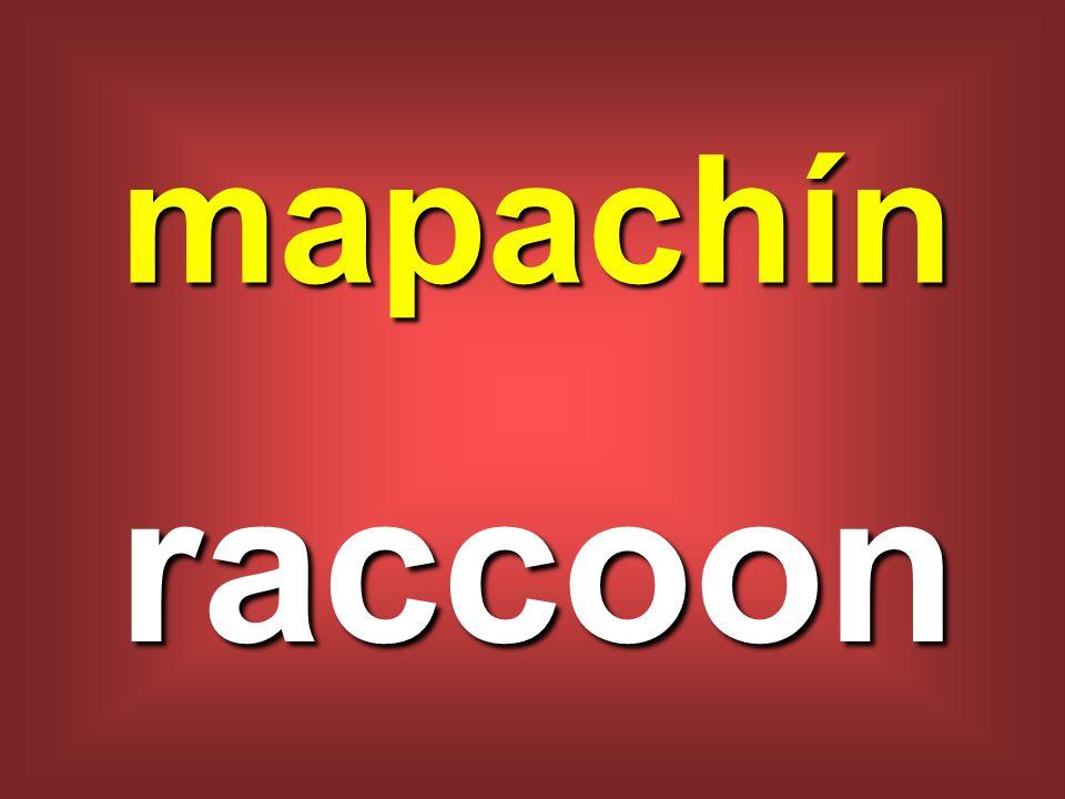mapachín raccoon