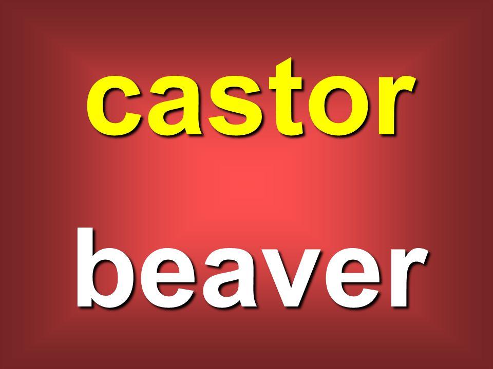 castor beaver