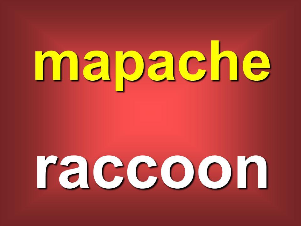 mapache raccoon