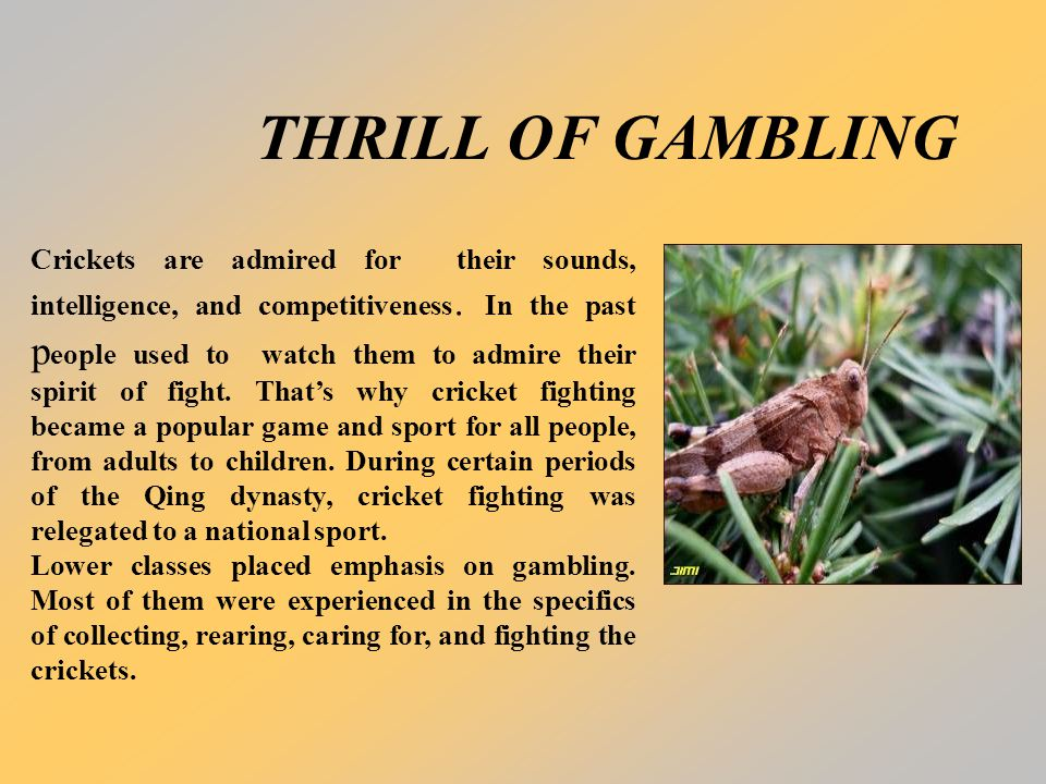 THRILL OF GAMBLING Crickets are admired for their sounds, intelligence, and competitiveness. In the past p eople used to watch them to admire their sp