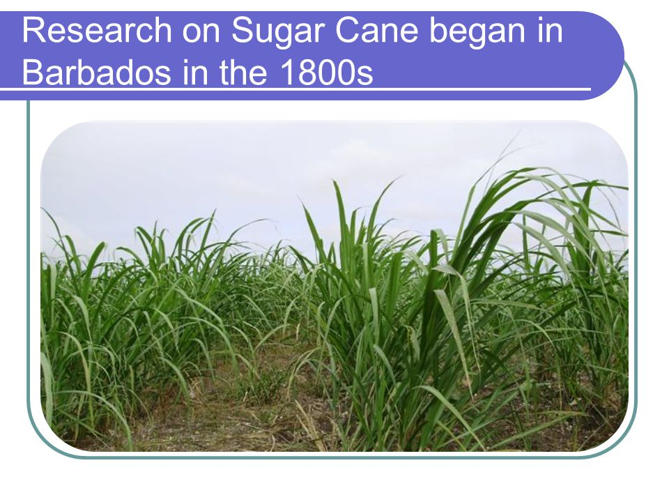 Research on Sugar Cane began in Barbados in the 1800s