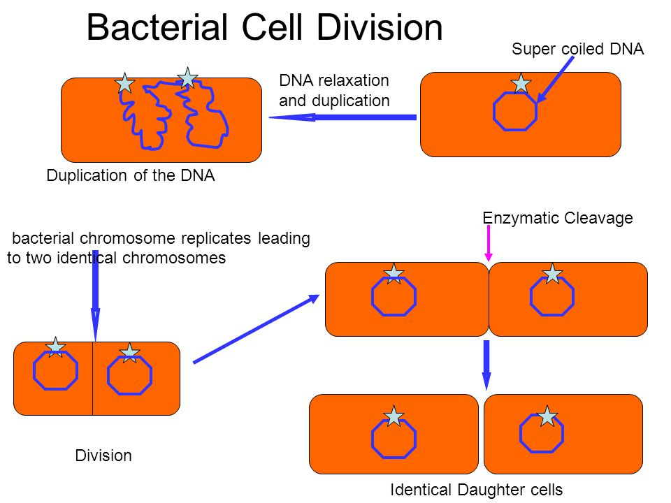 Enzymatic Cleavage Identical Daughter cells Bacterial Cell Division Division bacterial chromosome replicates leading to two identical chromosomes DNA relaxation and duplication Super coiled DNA Duplication of the DNA