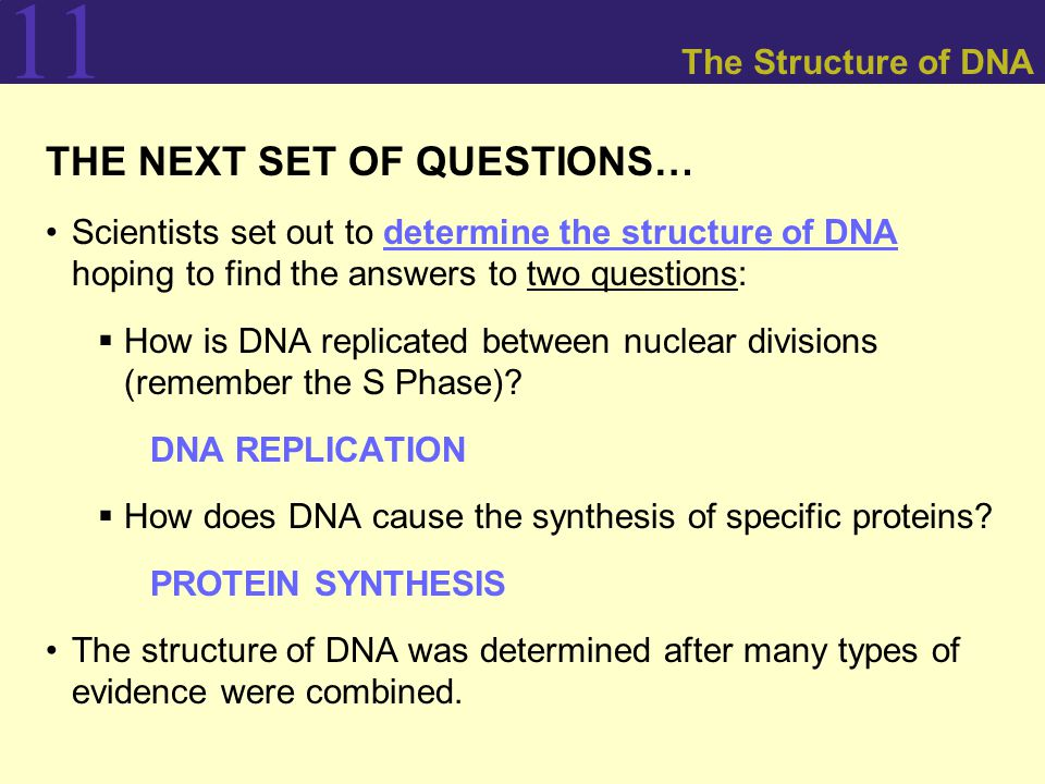11 The Structure of DNA THE NEXT SET OF QUESTIONS… Scientists set out to determine the structure of DNA hoping to find the answers to two questions:  How is DNA replicated between nuclear divisions (remember the S Phase).