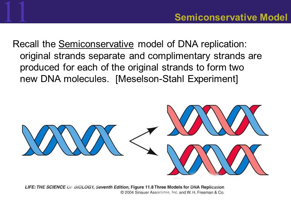 11 Semiconservative Model Recall the Semiconservative model of DNA replication: original strands separate and complimentary strands are produced for each of the original strands to form two new DNA molecules.