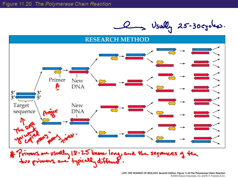 Figure 11.20 The Polymerase Chain Reaction