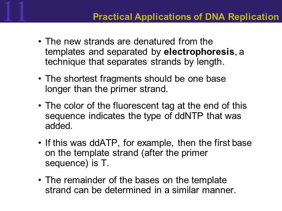 11 Practical Applications of DNA Replication The new strands are denatured from the templates and separated by electrophoresis, a technique that separates strands by length.