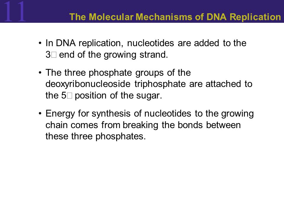 11 The Molecular Mechanisms of DNA Replication In DNA replication, nucleotides are added to the 3 end of the growing strand.