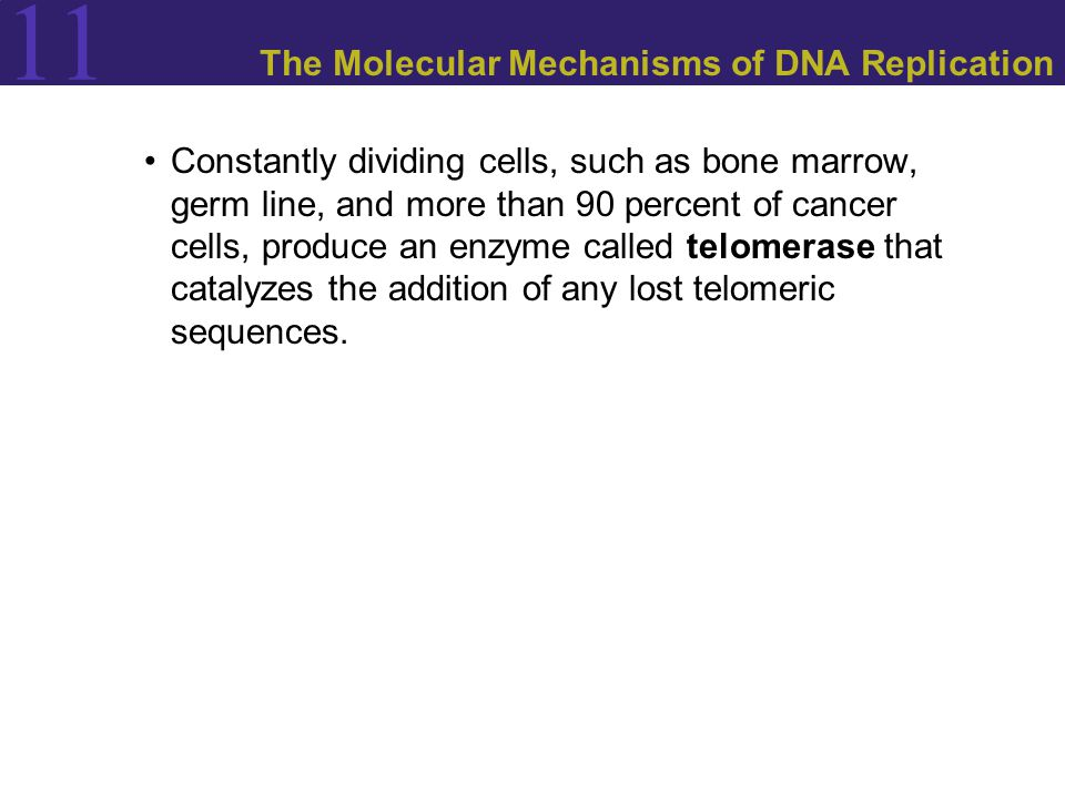 11 The Molecular Mechanisms of DNA Replication Constantly dividing cells, such as bone marrow, germ line, and more than 90 percent of cancer cells, produce an enzyme called telomerase that catalyzes the addition of any lost telomeric sequences.