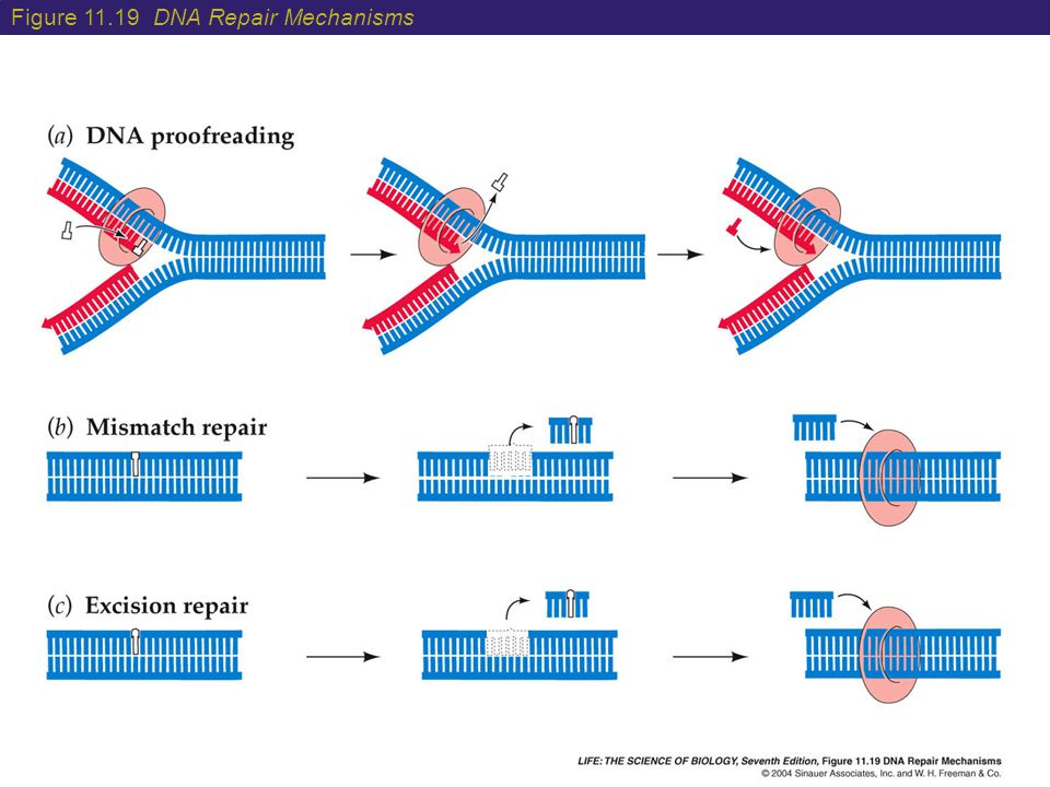 Figure 11.19 DNA Repair Mechanisms