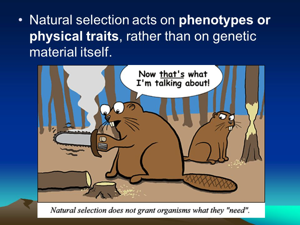 Natural selection acts on phenotypes or physical traits, rather than on genetic material itself.