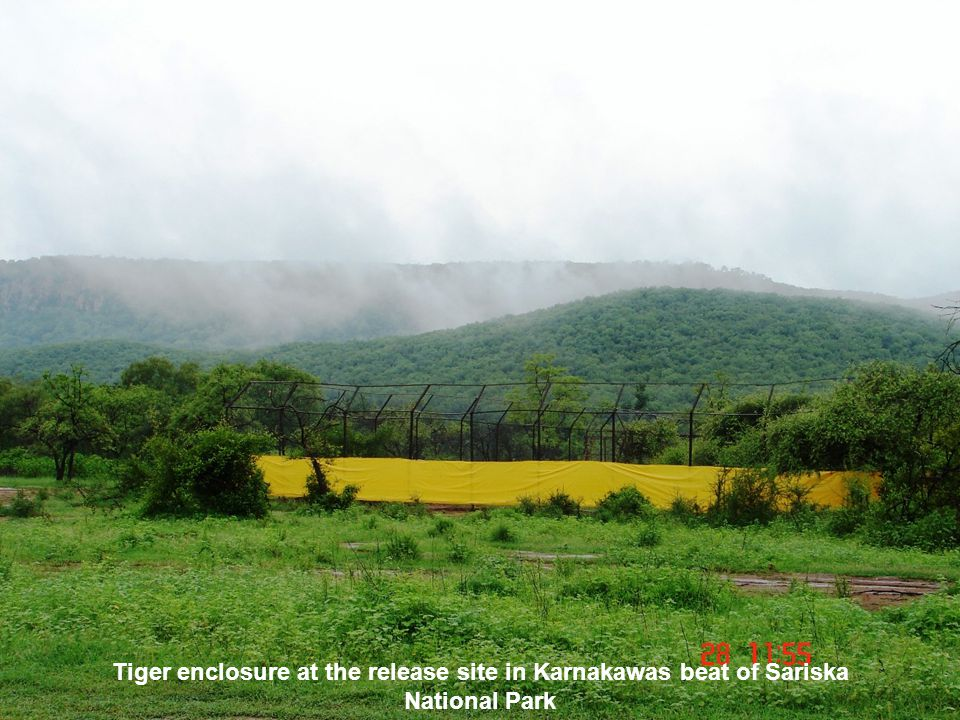 Tiger enclosure at the release site in Karnakawas beat of Sariska National Park