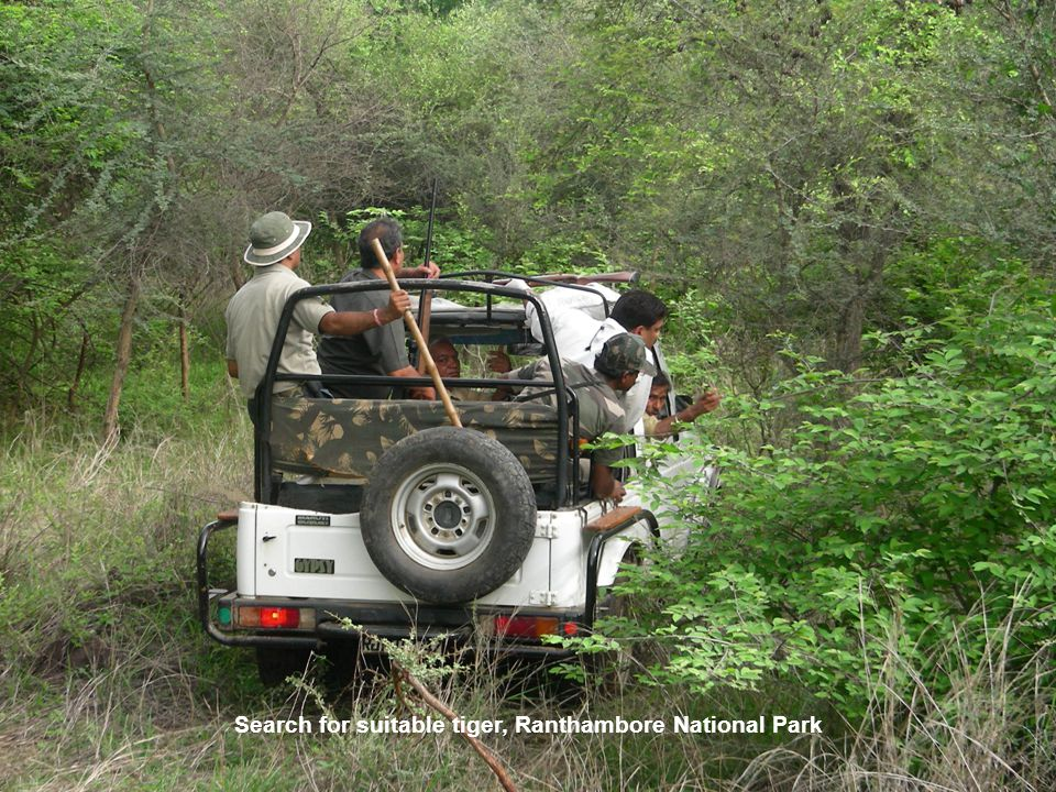28-06-08 0700 hrs, adult male tiger for radio-collaring in Ranthambore National Park for re-introduction to Sariska National Park