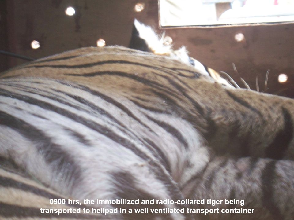 0900 hrs, the immobilized and radio-collared tiger being transported to helipad in a well ventilated transport container