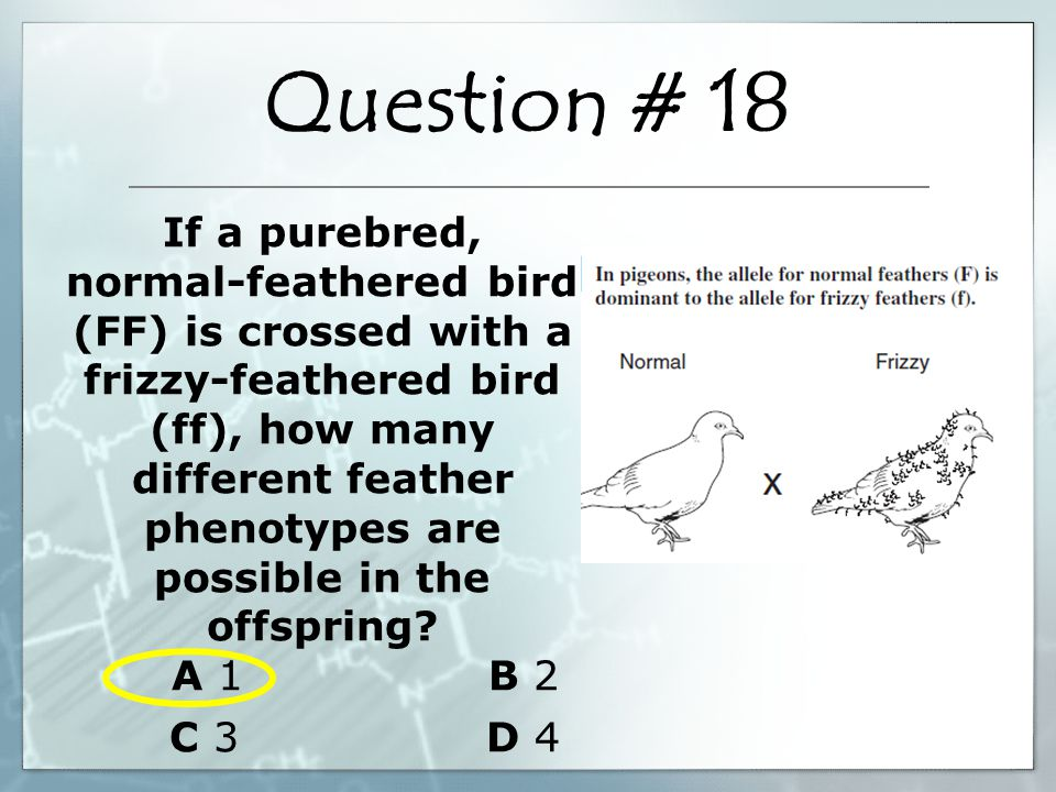 If a purebred, normal-feathered bird (FF) is crossed with a frizzy-feathered bird (ff), how many different feather phenotypes are possible in the offs