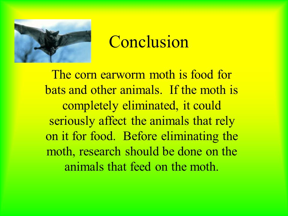 Conclusion The corn earworm moth is food for bats and other animals.
