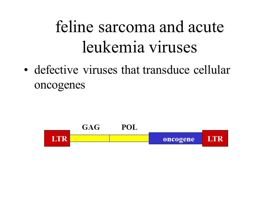 feline sarcoma and acute leukemia viruses LTR oncogene GAGPOL defective viruses that transduce cellular oncogenes