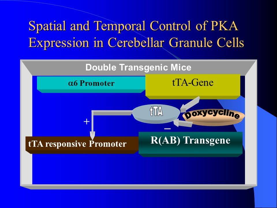 Spatial and Temporal Control of PKA Expression in Cerebellar Granule Cells Double Transgenic Mice  6 Promoter tTA-Gene tTA responsive Promoter R(AB)