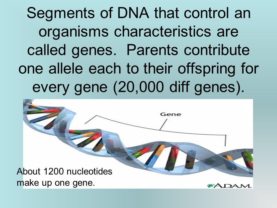 Segments of DNA that control an organisms characteristics are called genes.