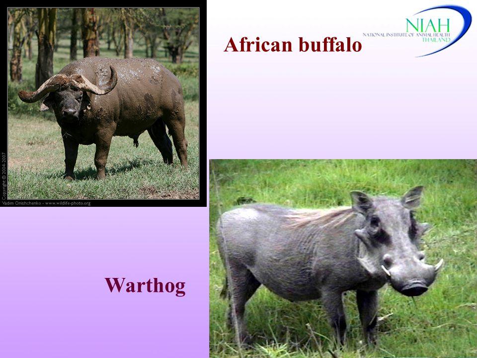 African buffalo Warthog